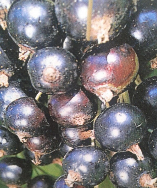 grosello negro ribes titania