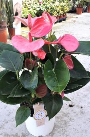 Anthurium pink champion anturium rosa