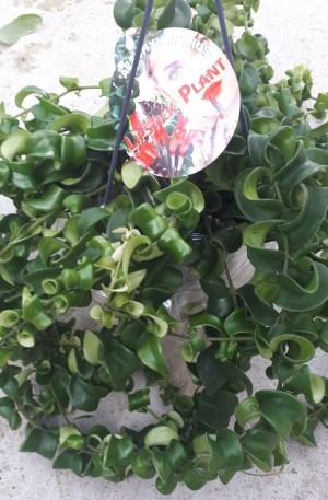 aeschynanthus rasta eschinanto