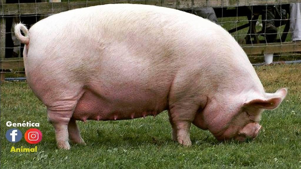 cerdo porcino gordo