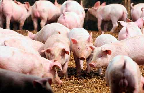 Aumentar ganancias en la cría de cerdos
