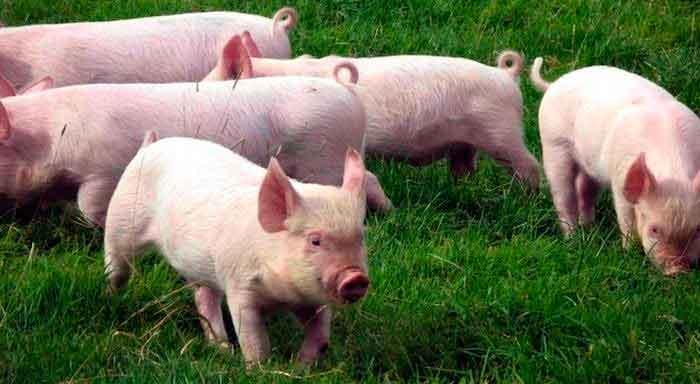 Cosas que quizás no sabias de los cerdos