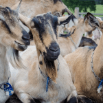 Cómo criar cabras en tu pequeña granja