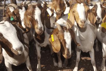 ¿Cuantos meses se demora una cabra en parir?