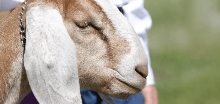 como comprar cabras