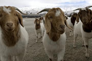 guia para criar cabras de carne