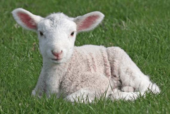 oveja recien nacidad