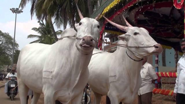 Hallikar Bulls vacas raza