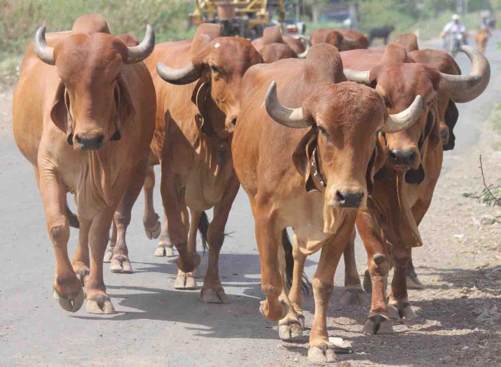 6 razas de ganado populares en la India