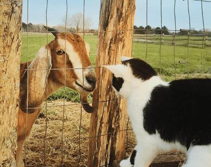 cabra con un gato