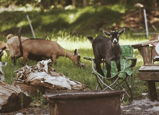 guia completa para el cuidado y cria de cabras