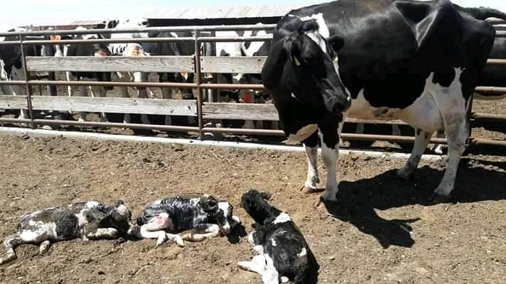 vaca con tres crías parto unico