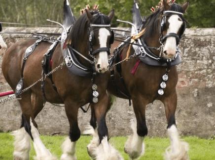 caballo de australia El clydesdale