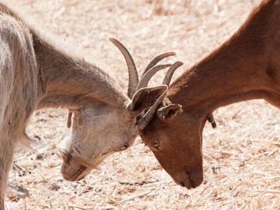 ganadería caprina cabras