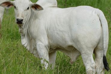 La visión de las vacas: ¿tienen buena o mala visión?