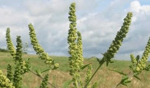problemas con la planta o mata de ambrosía como prevenir