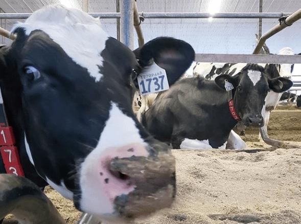 Signos que indican que su ganado bovino esta enfermo