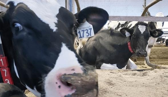 signos de que tu ganado bovino esta enfermo