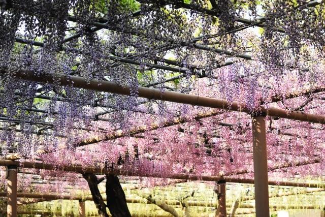 Gradación wisteria en Mandaraji Temple Park