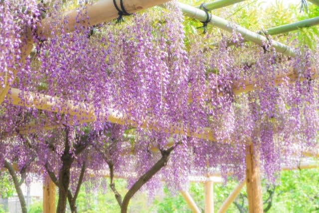 glicina Kameido Tenjin Shrine wisteria trellis