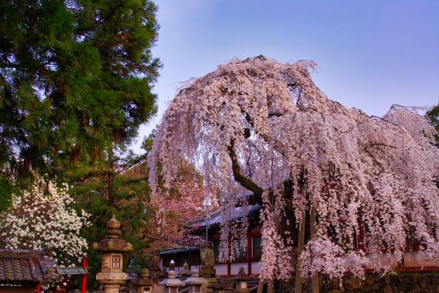 Flores de cerezo del Santuario Nara Himuro-jinja koen todaiji