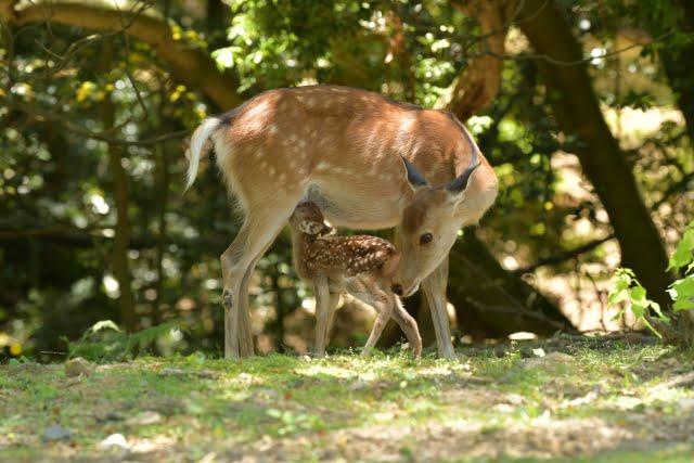 animales en japones ciervo