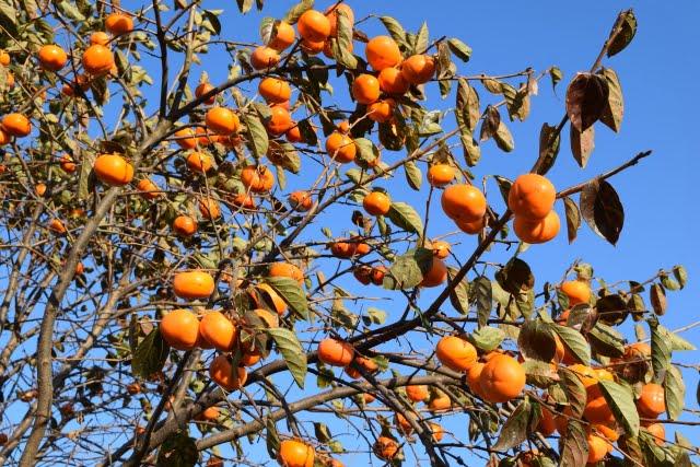 shonai persimmon japanese fruit kaki