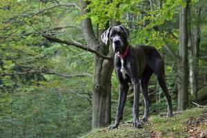 Perros Gran Danés