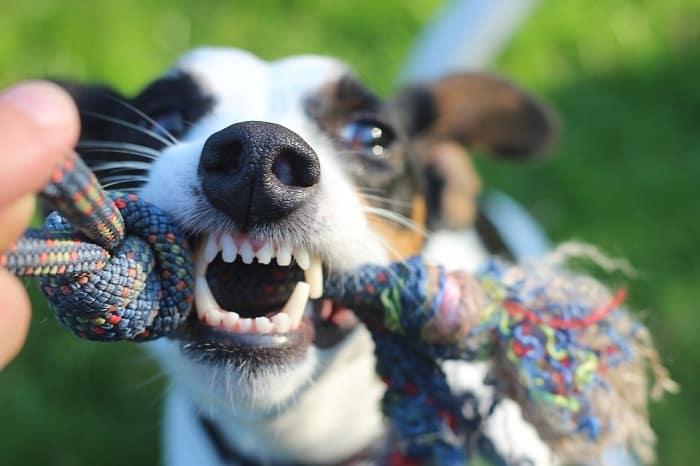 Cuida de los dientes de tu perro