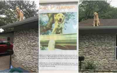 Huck el perrito que ama pasar su tiempo sobre el techo de su casa.