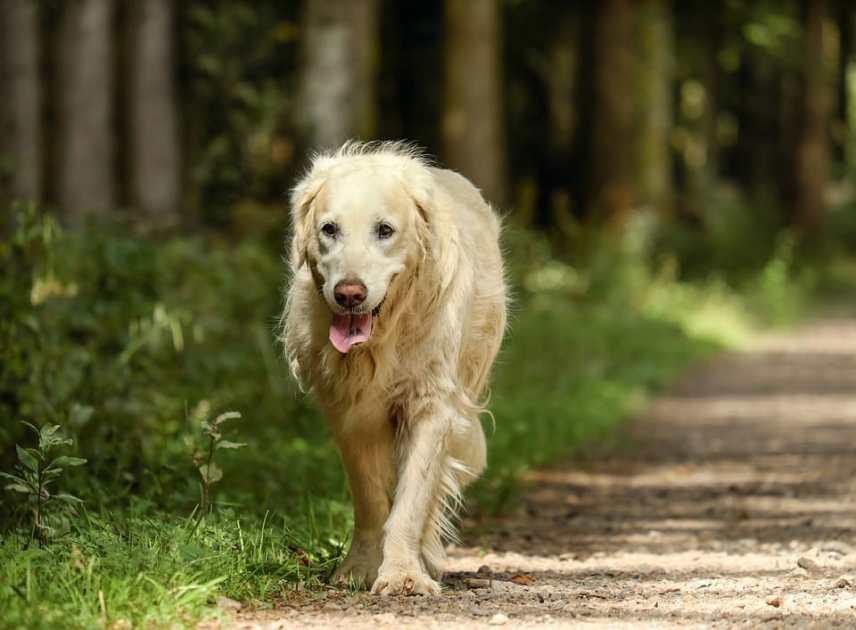 perros Golden Retriever