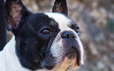 Perros Bulldog Francés alimentación, cuidados, características