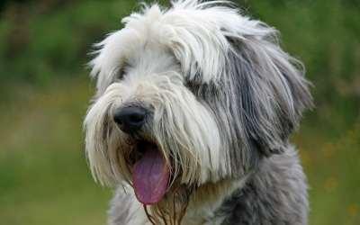 Perros Collie Barbero