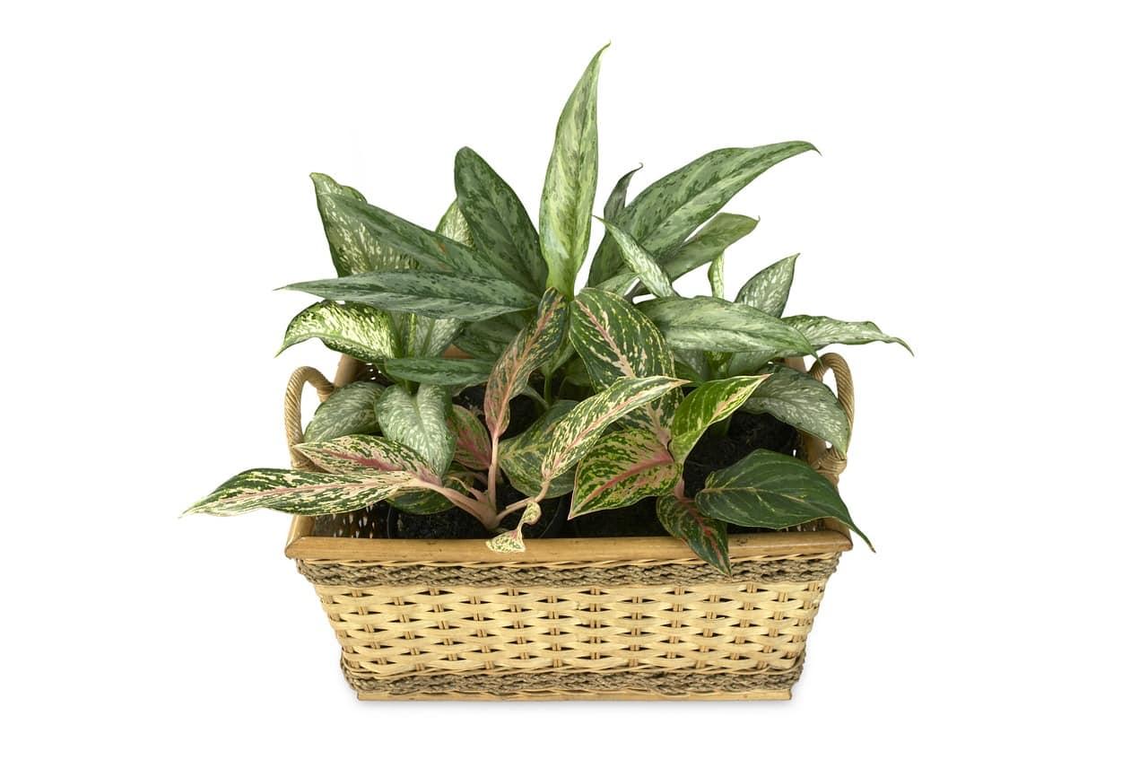 Dieffenbachia planta toxica para perros