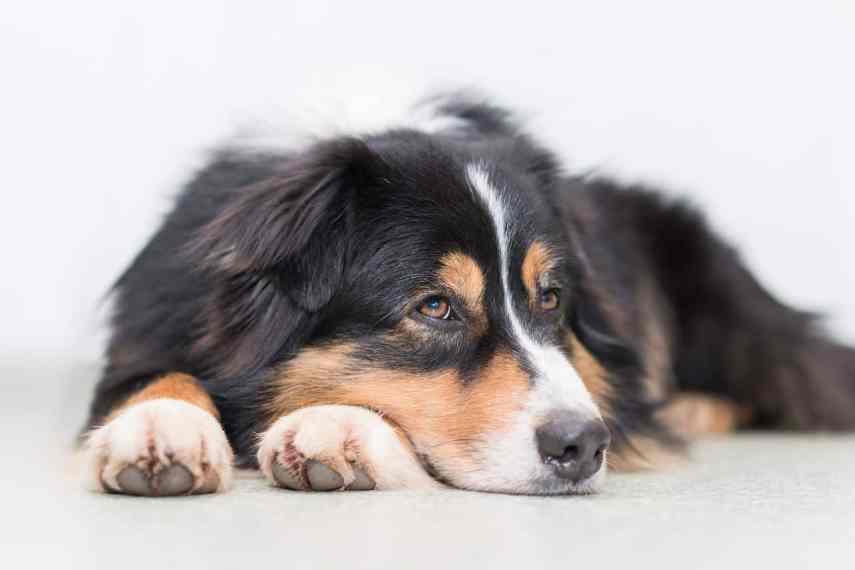 Perro con parvovirus