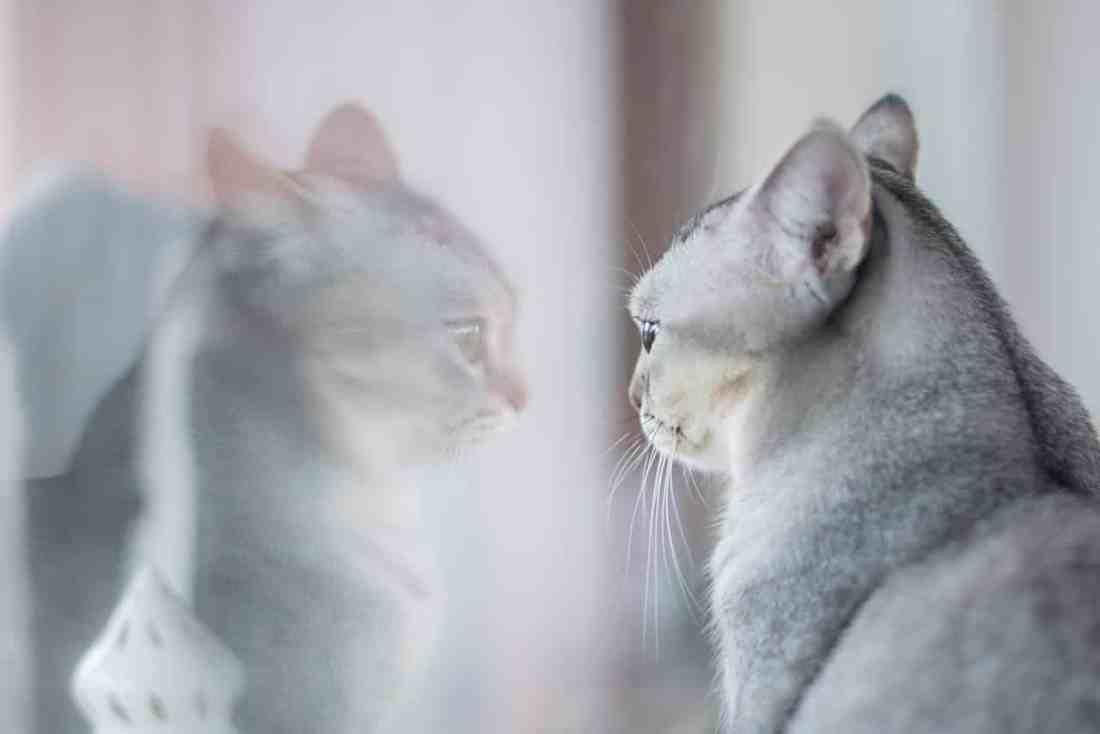 Cómo saber si mi gato es de raza