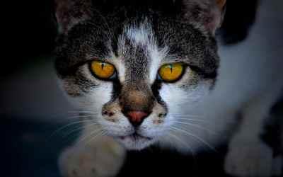 Enfermedades de los gatos en la piel