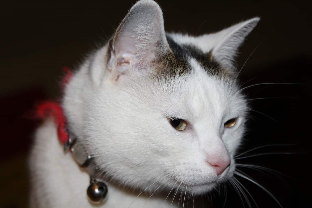 Virus de la leucemia felina (FelV)