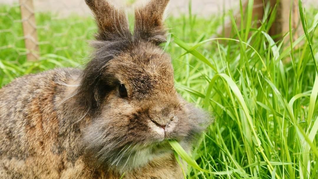 Conejo angora