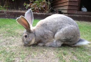 Conejo gigante continental