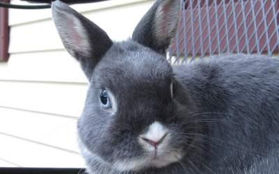 Conejo holandés