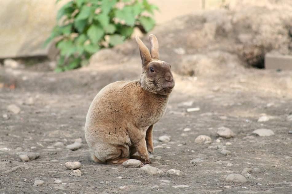 Conejo mini rex