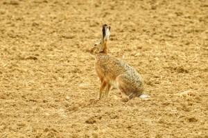 Conejos y liebres diferencias