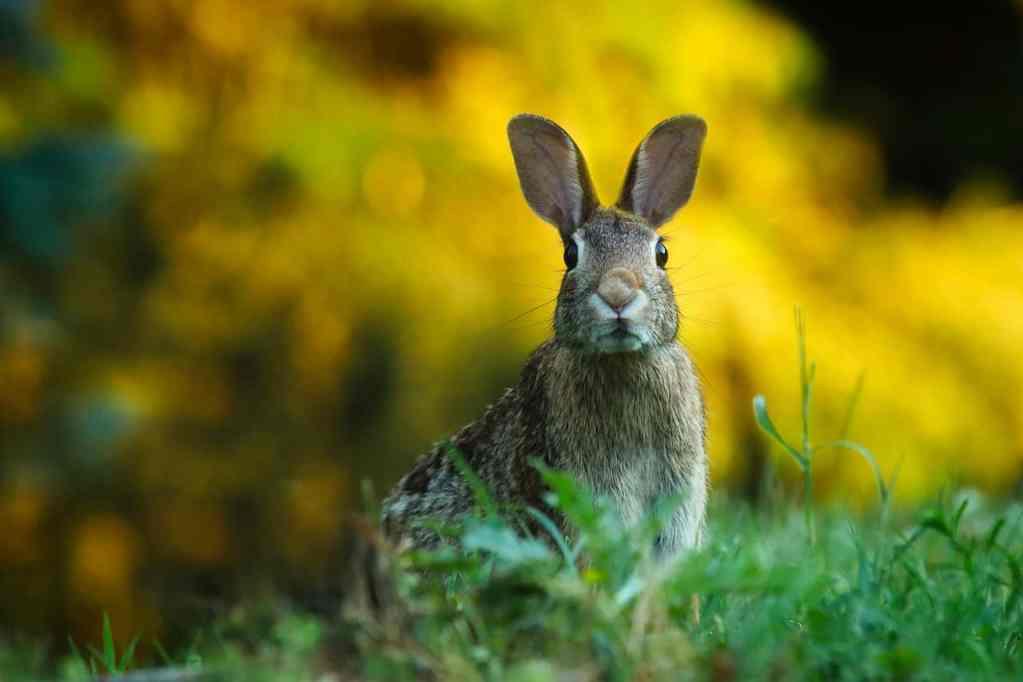 Los conejos pueden comer manzana
