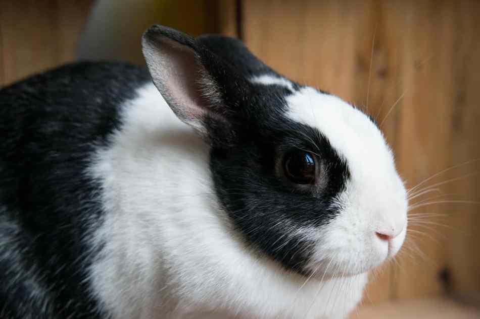 Nombres para conejos blanco y negro