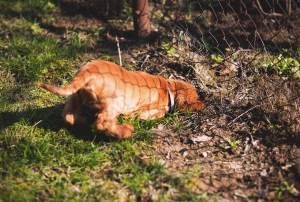 Por qué los perros comen tierra