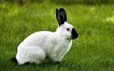 Conejo californiano