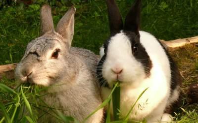 Apareamiento de conejos