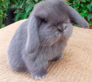 Conejo mini lop