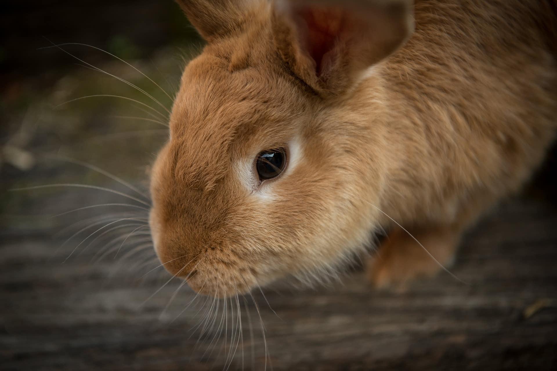 convulsiones en conejos